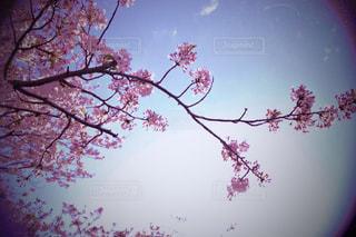 桜の写真・画像素材[533884]