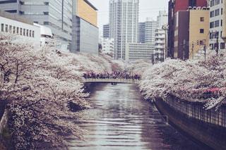 桜の写真・画像素材[1143411]