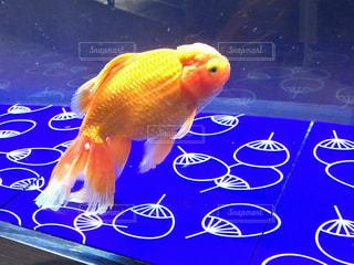 金魚 - No.735416