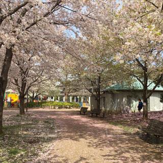 桜の写真・画像素材[526926]