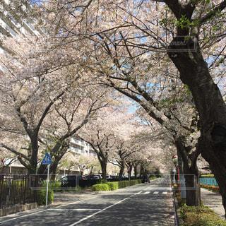 桜 - No.526927