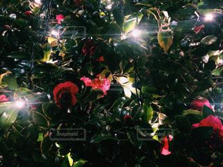 クリスマス ツリーの写真・画像素材[933055]