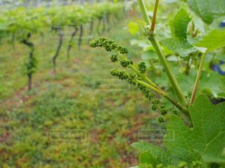 ワインの写真・画像素材[528853]