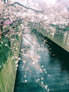 三分咲きの写真・画像素材[1095562]