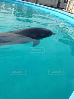イルカの写真・画像素材[531123]