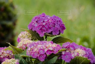 花の写真・画像素材[541389]
