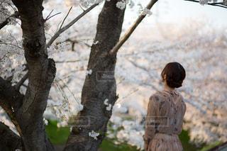 桜を観察の写真・画像素材[1315291]