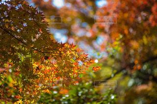 美しい紅葉の写真・画像素材[1315300]