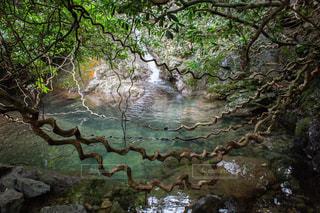 ネジネジの木の写真・画像素材[1320814]