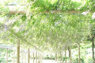 藤の花の写真・画像素材[1320980]