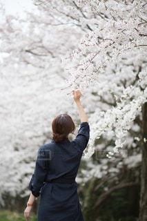 人が桜の中を歩いての写真・画像素材[1321009]