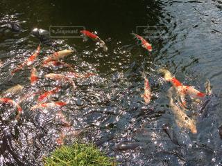 鯉の写真・画像素材[552034]
