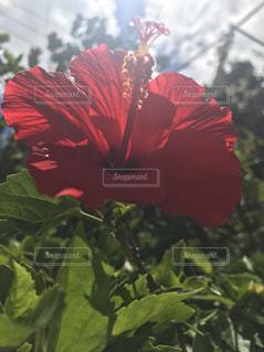 緑の葉と赤い花の写真・画像素材[712976]