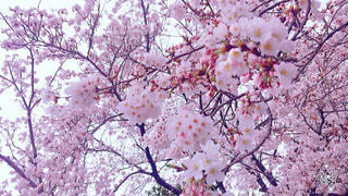#春 #桜 #ピンク #季節 #四季 - No.533092