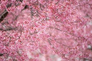 オカメ桜の写真・画像素材[1120521]