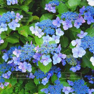 雨の日の紫陽花の写真・画像素材[2239541]