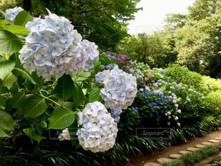 紫陽花の花の写真・画像素材[2148838]