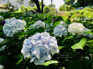 紫陽花の花の写真・画像素材[2148868]