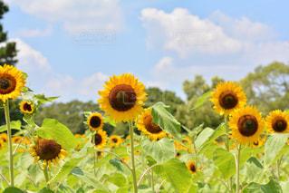 お花畑の写真・画像素材[218671]