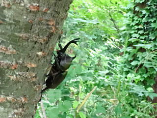 森で見つけたカブトムシのオスの写真・画像素材[1263493]