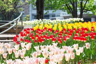 横浜のチューリップの写真・画像素材[2166310]