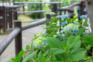 遊歩道に咲く紫陽花の写真・画像素材[2171672]