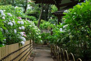 雨上がりのお寺境内の紫陽花の写真・画像素材[2187321]