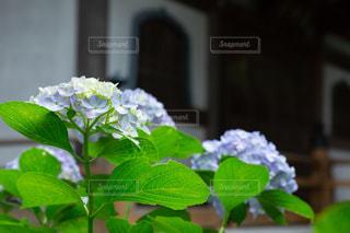 雨上がりのお寺境内の紫陽花の写真・画像素材[2187326]