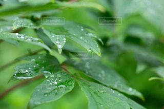 葉の上の雨の雫の写真・画像素材[2187425]