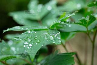 葉の上の雨の雫の写真・画像素材[2187429]