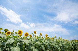 ひまわり畑の写真・画像素材[2354254]