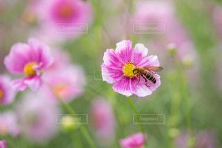 秋の里山のコスモス畑を飛び回るハチの写真・画像素材[2515253]