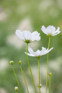 秋の里山のコスモス畑の写真・画像素材[2515263]