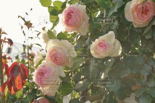 ピンクの写真・画像素材[538841]