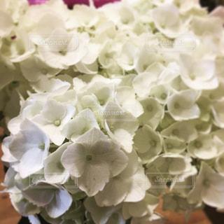 白い紫陽花の写真・画像素材[1039921]