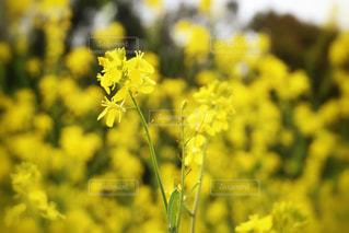 菜の花の写真・画像素材[1052501]