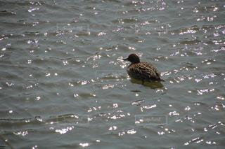 水の体に浮かぶアヒルの写真・画像素材[1156272]