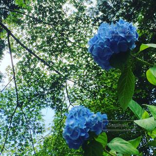 No.542122 紫陽花