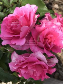 花の写真・画像素材[541026]