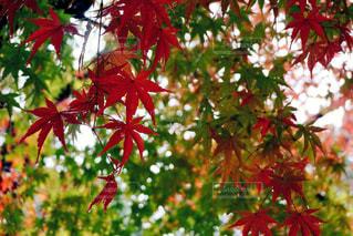 木の赤い花の写真・画像素材[1232513]