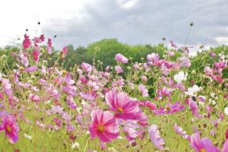 そよ風に吹かれる花の写真・画像素材[747621]