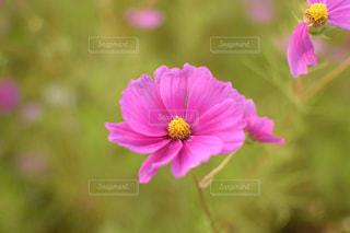 ピンクの花の写真・画像素材[754885]