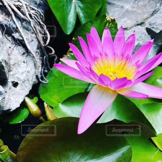 ベトナム国花である蓮の花の写真・画像素材[1882336]