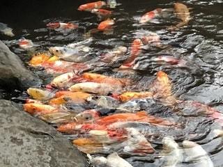 鯉の餌やりの写真・画像素材[1779177]
