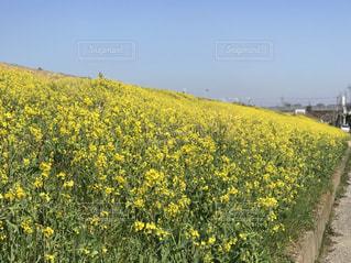 フィールド内の黄色の花の写真・画像素材[1064488]