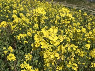 フィールド内の黄色の花の写真・画像素材[1064490]