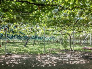 葡萄畑と木漏れ日の写真・画像素材[909460]