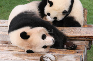 木製のベンチに座っているパンダの写真・画像素材[865948]
