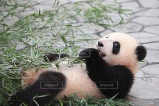 パンダの写真・画像素材[2066469]