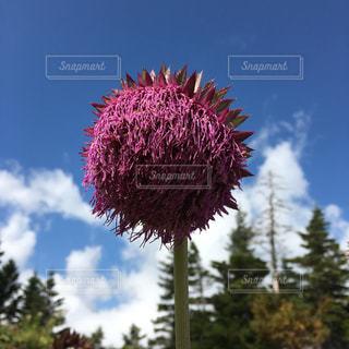 ピンクの花の木の写真・画像素材[737733]
